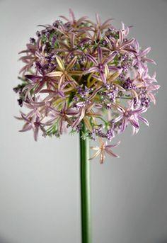 "Allium Flowers Lavender 31"" tall"