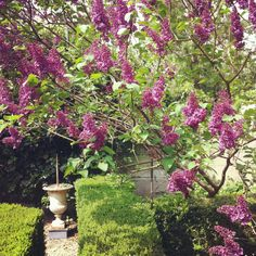 Lilacs, an early spring delight