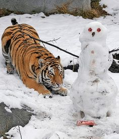 In Illinois at the Brookfield Zoo, Max, a stunning two-year-old Amur tiger gets ready to pounce on a snowman his keepers had made for him. The delicious snowman featured meat for eyes and buttons, and bones for feet. Yum!