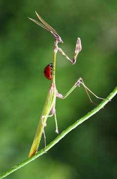 A ladybug hitches a ride on a praying mantis!
