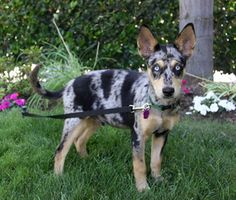 DIMITRI is an adoptable Australian Cattle Dog (Blue Heeler) Dog in Newport Beach, CA. ~ ADOPTION PENDING ~ You may meet and apply to adopt Dimitri at our ADOPTION EVENT on SATURDAY, JULY 20th from 12 ...