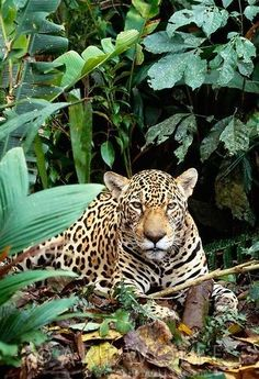 Jaguar at Tambopata -Candamo National Reserve, Peru. Ocelot, Beautiful Creatures, Animals Beautiful, Animals And Pets, Cute Animals, Big Cats, Salvador, Pet Birds, Animal Kingdom