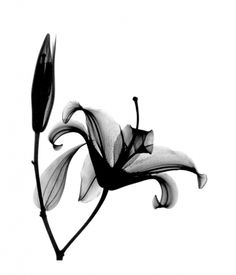 Positive X-ray of lily and bud by Bert Myers Photography on The Bazaar