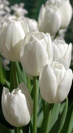 ♔ White Tulips
