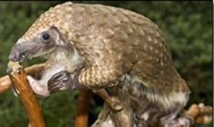 Nope, it's not an anteater, a reptile, or a moving artichoke. No doubt, the pangolin is one odd-looking mammal. With the longest tongue and stickiest saliva for an animal its size, the pangolin  feasts exclusively on ants and termites.   Find out more about this bizarre creature: its unique keratin scales, long claws, and defenses against angry bugs, big cats, and pythons.