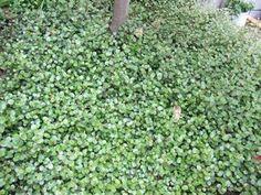植えてはイケナイ…( ̄▽ ̄; - happy-go-lucky How To Dry Basil, Herbs, Garden, Flowers, Happy, Plants, Garten, Florals, Herb
