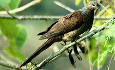 Barred Cuckoo-Dove - Bangladesh, Bhutan, Cambodia, China, India, Indonesia, Laos, Malaysia, Myanmar, Nepal, Thailand & Vietnam