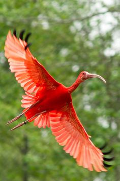 Glorious Scarlet Ibis on the wing