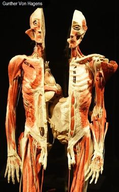 'Body Worlds' Exhibition By Gunther Von Hagens Gunther Von Hagens, Bodies Exhibit, Real Bodies, Museum, Aesthetic Images, Anatomy And Physiology, Fantasy Landscape, Human Anatomy, Nice Body