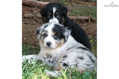 australian shepherd blue merle | akc-australian-shepherd-blue-eyed-merle-dog-australian-shepherd-puppy ...