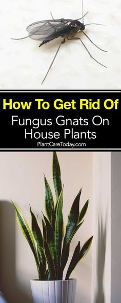 Do you have Gnats flying around your indoor plants? Learn How To Get Rid of Fungus Gnats On House Plants Plant Bugs, Plant Pests, Garden Pests, Gnats In House Plants, House Plants Decor, Container Gardening, Gardening Tips, Indoor Gardening, Gardening Books
