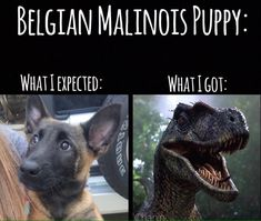 Malinois are #military k9's.