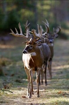 Come 'ere deer! All in a row! I would love to see this deer hunting! Whitetail Deer Pictures, Deer Photos, Elk Pictures, Deer Pics, Animals Beautiful, Beautiful Creatures, Animals And Pets, Cute Animals, Big Deer