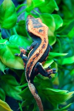 reptiglo: reptiglo: Halloween Crested Gecko The owner of this crestie can be found here; this beautiful animal is named Pumpkin! Reptiles Et Amphibiens, Cute Reptiles, Mammals, Animals And Pets, Baby Animals, Funny Animals, Cute Animals, Geckos, Beautiful Creatures