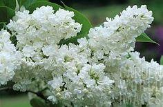 Syringa vulgaris 'Miss Ellen Wilmott' Miss Ellen Willmott Lilac from E.C. Brown's Nursery