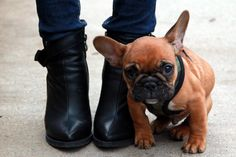 .love me a Frenchie...