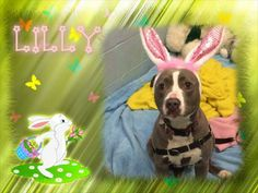 Lilly is getting ready for her Easter Basket this year .. all she needs is a family to take her on a Easter egg hunt!  Lilly, Available for adoption @ The Mount Vernon Animal Shelter