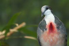 bleeding-heart dove Habitat: island of Luzon in the Phillipines  Status: Near Threatened