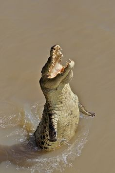 Jumping crocodile, Australia... for some reason i immediately envisioned him signing 'Volare'...