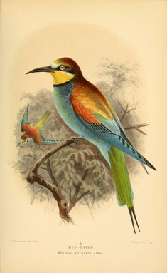 Bee-eater. Coloured figures of the birds of the British Islands v.2  London :R. H. Porter,1885-1897.  Biodiversitylibrary. Biodivlibrary. BHL. Biodiversity Heritage Library