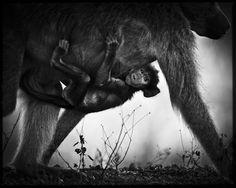 Laurent Baheux : black  wild photographer