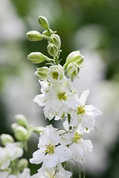 White Larkspur- if could find would be so pretty in vases and in bouquet