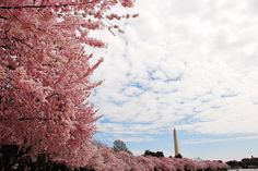 Cherry Blossom Trees in Washington, DC -- Yes, this is what it looks like right now!