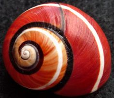 Cuban land shell. Polymitas, Mother nature dressing: One white line all across the redish shell and one black stripe.