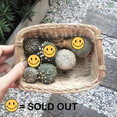 Available for SALE #mammillaria #astrophytum #asteria #astrophytumasteria #vtype #kabuto #superkabuto #nudam #miracle #astrophytumthailand #cactus #cacti #cactuslover #cactusgarden #cactusthailand #minicactus #cactusword #cactusrepost #cactusmagazine #cactusworld #green #gardening #gardener #minigarden #tinygarden #urbangarden #bangkok #thailand #collectiongarden by collectiongarden