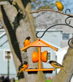 Eco-Friendly Oriole Fruit & Jelly Feeder: When it comes to oriole feeders, this one has all the specs you could desire. There's room for fresh oranges and several dishes to serve succulent jelly or nutrient-rich mealworms—with an extended roof to keep it all dry.