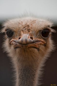 Too cute! This ostrich looks mad photographed by Gary #photographytalk #ostrich