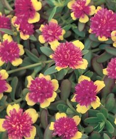 Portulaca is especially well-suited for growing in containers on patios and decks, with its fleshy, succulent leaves, red stems, and colorful cactus-like flowers in shades of red, orange, yellow, pink, purple and white. Plants prefer hot, dry, almost desert-like conditions.  from Cornell (http://www.gardening.cornell.edu/)