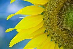 Sunflower, Bozcaada