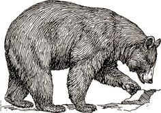 Black bear  drawing, artist unknown