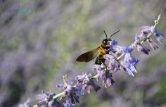 """Photo """"Lavender Bee"""" by teewhyell"""