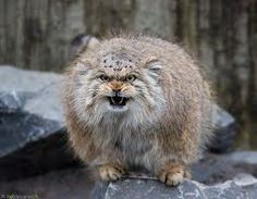Not a happy pallas cat