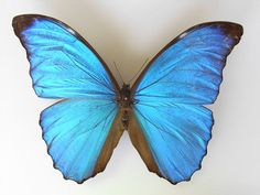 Morpho amathonte has a wingspan of about 100–150 millimetres (3.9–5.9 in). This species shows an evident sexual dimorphism which differentiates males from females. The basic colour in males is bright metallic blue, sometimes bluish.