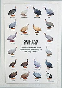 Here are the different types of Guineas