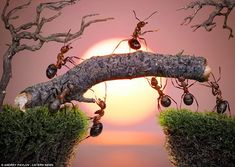 F-ANT-astic: The ant army shows off its teamwork, building a bridge against the backdrop of a glowing sunset. Photographer Andrey Pavlov hopes his pictures will form a bridge between reality and the world of fairytales