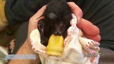 ABC #megabat black baby orphan rescued in care #flyingfox #fruitbat