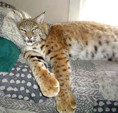 Lynx Cats For Sale In Tennessee