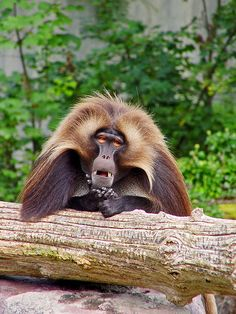 Gelada baboon by Tambako the Jaguar on Flickr.