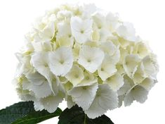 Our wedding flowers Katie Austin, Types Of Hydrangeas, Tropical Flowers, Flower Power, Our Wedding, Wedding Flowers, Rose, Plants, Inspiration Boards