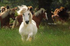 "vindsvalur: "" young icelandic stallion """