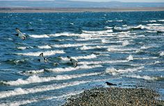 Waves and Oystercatchers in Loch Indaal, Isle of Islay