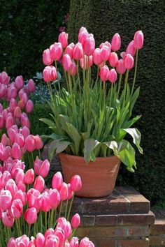 Bulb Stacking for Continuous Bloom Tulips Garden, Garden Pots, Planting Flowers, Garden Bed, Balcony Garden, Container Plants, Container Gardening, Gardening Books, Gardening Tips