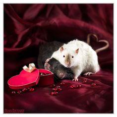 Ratties Valentines Day by DianePhotos.deviantart.com on @deviantART