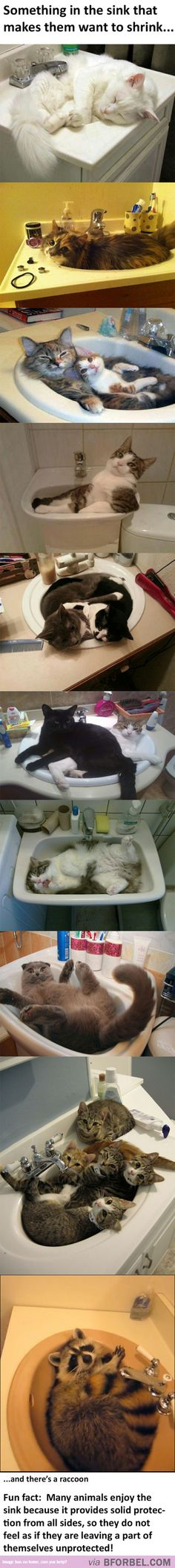 There's Something About The Sink That Cats Love…