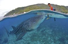 WHALE SHARK EATS FROM THE HAND OF FISHERMEN IN THE PHILIPPINES