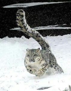 The majestic snow leopard
